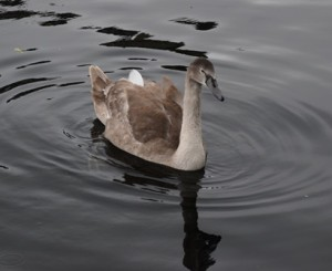 When we arrived in Dublin last June, this cygnet was just born. Now he or she is almost as big as the parents.