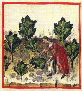 Cabbage in Tacuinum-Sanitatis-ca.-1400