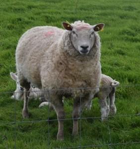 38 Sheep
