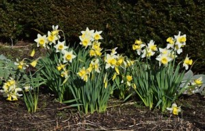 40 Daffodils